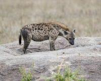 Sideview di singola iena che sta su una roccia Fotografia Stock Libera da Diritti