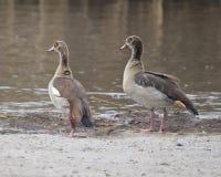 Sideview do close up de dois gansos egípcios que estão na sujeira na borda de uma lagoa Fotografia de Stock