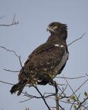 Sideview do close up de uma águia de Harrier Preto-chested que senta-se na parte superior de uma árvore com fundo do céu azul Foto de Stock