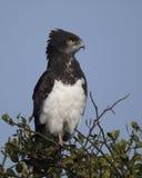 Sideview do close up de uma águia de Harrier Preto-chested que senta-se na parte superior de uma árvore com fundo do céu azul Fotografia de Stock Royalty Free