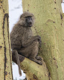 Sideview eines erwachsenen Pavians, der in einem Acai-Baum mit dem Mund teilweise offen sitzt Lizenzfreie Stockfotografie