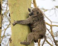Sideview eines erwachsenen Pavians, der einen Acai-Baum klettert Lizenzfreie Stockfotografie