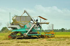 The sideview of farm worker harvesting rice Royalty Free Stock Image