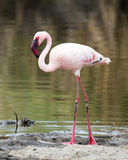 Sideview of a Flamingo standing on ground at the edge of a pond. In the Serengeti National Park, Tanzania Stock Image