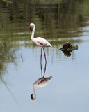 Sideview of a Flamingo standing in water with reflection. Sideview of a Flamingo standing in water with a reflection in the Serengeti National Park, Tanzania Stock Photos