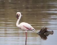 Sideview of a Flamingo standing in water. In the Serengeti National Park, Tanzania Royalty Free Stock Photos