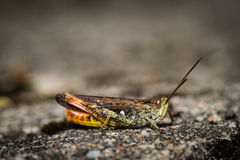 Sideview of a grasshopper on rock Royalty Free Stock Photos