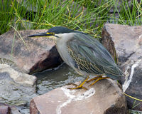Sideview of Green-backed Heron standing on rock by stream stock photos