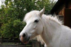 Sideview headshot of a gray pony horse Stock Photos