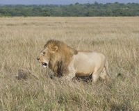 Sideview of large male lion walking  through tall grass Royalty Free Stock Photography