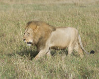 Sideview of large male lion walking  through tall grass Stock Image