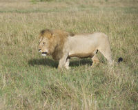 Sideview of large male lion walking  through tall grass Royalty Free Stock Images