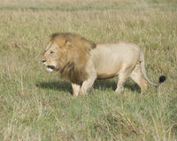 Sideview of large male lion walking  through tall grass Stock Images