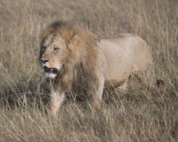 Sideview of large male lion walking  through tall grass Stock Photo
