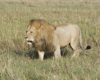 Sideview of large male lion walking  through tall grass Royalty Free Stock Photos