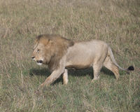 Sideview of large male lion walking  through tall grass Stock Photography