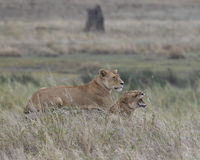 Sideview of lioness and cub with teeth showing Royalty Free Stock Photography