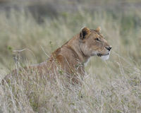 Sideview of lioness sitting in tall grass looking alertly ahead Stock Images