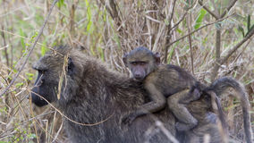 Sideview of a mother baboon walking through tall grass with a baby baboon riding her back Royalty Free Stock Image