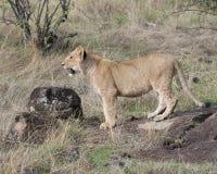 Sideview-Nahaufnahme einer jungen Löwin, die vorwärts mit einem Knäuel schauend steht Lizenzfreie Stockbilder