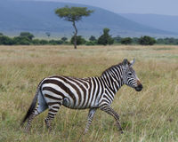 Free Sideview Of Single Zebra Walking In Grass With Head Raised Stock Photography - 82830902