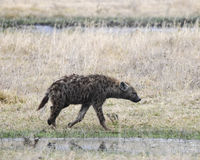 Sideview of one hyena walking in short grass by a small stream Royalty Free Stock Images