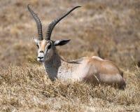 Sideview pojedynczy Grant ` s gazeli lying on the beach w trawie Fotografia Stock