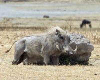 Sideview pojedynczy warthog naciera jego stronę na wielkiej skale Fotografia Stock