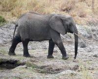 Sideview que camina del elefante joven Foto de archivo libre de regalías