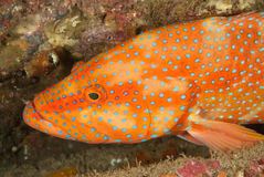 Sideview of a rock cod Stock Photography