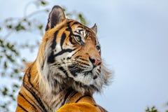 Sideview of a Royal Bengal Tiger. & x28;panthera tigris& x29 Royalty Free Stock Photography