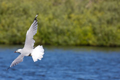 Sideview seagull latanie fotografia royalty free