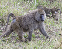 Sideview of an single adult baboon walking in grass Royalty Free Stock Image