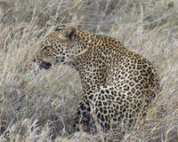 Sideview of a single adult Leopard sitting in grass licking lips Royalty Free Stock Photo