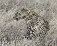 Sideview of a single adult Leopard sitting in grass licking lips Stock Photo