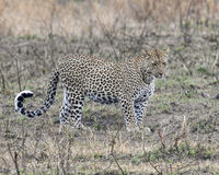 Sideview of a single adult Leopard standing in grass looking forward Stock Images