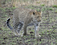 Sideview of a single adult Leopard walking in grass looking forward Stock Image