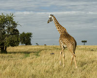 Sideview of single giraffe walking away in grass with blue cloudy sky in the background Royalty Free Stock Image