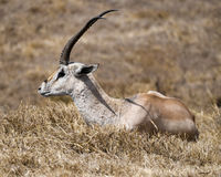 Sideview of single Grant`s Gazelle lying in grass Royalty Free Stock Image