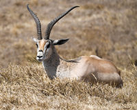 Sideview of single Grant`s Gazelle lying in grass Stock Photography
