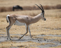 Sideview of single Grant`s Gazelle walking Royalty Free Stock Photography