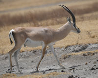 Sideview of single Grant`s Gazelle walking Stock Images