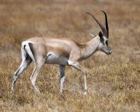 Sideview of single Grant`s Gazelle walking Stock Photo
