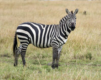 Sideview of single zebra standing in grass with head raised Stock Photos