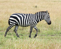Sideview of single zebra walking in grass with head raised Stock Photos
