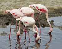 Sideview of three Flamingos standing in water with beaks down in the water. In the Serengeti National Park, Tanzania royalty free stock photos