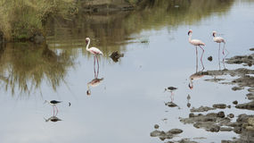 Sideview of Three Flamingos standing in water with two Blackwinged Stilt standing in the foreground. In the Serengeti National Park, Tanzania royalty free stock image
