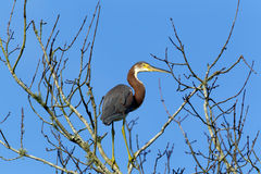 Sideview of tri colored heron. Royalty Free Stock Image