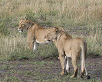 Sideview of two overlapping lionesses standing in grass Royalty Free Stock Image