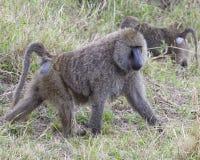 Sideview van één enkele volwassen baviaan die in gras lopen Royalty-vrije Stock Afbeelding